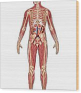 Urinary, Skeletal & Muscular Systems Wood Print