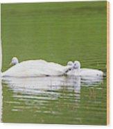 Usa, Montana, Elk Lake, A Trumpeter Wood Print