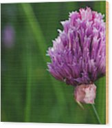Usa, Oregon, Keizer, Chives In Bloom Wood Print