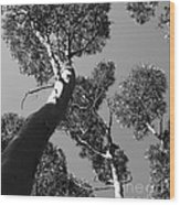 Valley Of The Giant Tingles Bw Wood Print