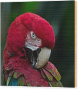 Vanity-close Up Of A Green Winged Macaw Wood Print