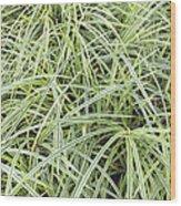 Variegated Monkey Grass Background Wood Print