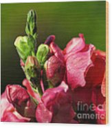 Variegated Snapdragon Wood Print
