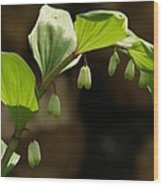 Variegated Solomon's Seal In Spring - Pennsylvania Wood Print