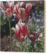 Variegated Tulips Wood Print