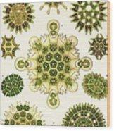 Varities Of Pediastrum From Kunstformen Der Natur Wood Print