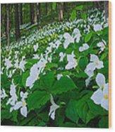 Vast Trillium Wood Print by Thomas Pettengill