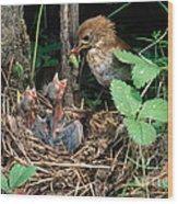 Veery At Nest Wood Print
