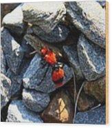 Velvet Ant Wood Print
