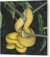 Vemonous Mcgregors Pit Viper Coiled Wood Print