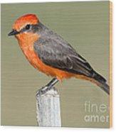 Vermilion Flycatcher Pyrocephalus Wood Print