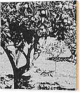 vertical branches of green unripened oranges on an orange tree bush growing in a garden Tenerife Canary Islands Spain Wood Print