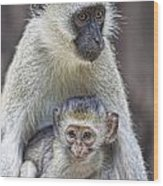 Vervet Monkeys Wood Print