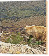Very Light-colored Grizzly Bear In Moraine River In Katmai Nnp-ak Wood Print