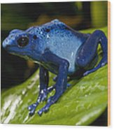 Very Tiny Blue Poison Dart Frog Wood Print