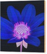 Vibrant Blue Single Dahlia With Pink Centre On Black. Wood Print