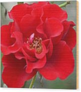 Vibrantly Red Rose Wood Print