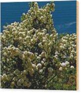 Viburnum Opulus Compactum Bush With White Flowers Wood Print