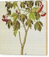 Viburnum Opulus Wood Print