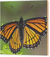 Viceroy On Fern Frond Wood Print