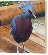 Victoria Crowned Pigeon Strutting Around Wood Print