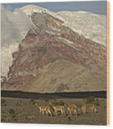 Vicuna Herd Grazing At Mt Chimborazo Wood Print