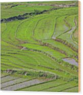 Vietnam, Muong, Elevated View Of Rice Wood Print