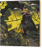 Vine Leaves At Sunset Wood Print