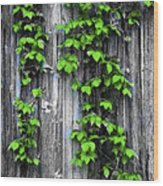 Vines On The Side Of A Barn Wood Print