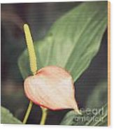 Vintage Anthurium Wood Print