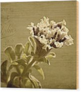 Vintage Double Petunia Wood Print