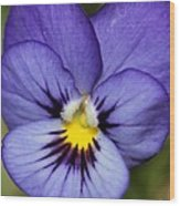 Viola Named Sorbet Blue Heaven Jump-up Wood Print by J McCombie