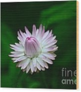 Violet And White Flower Sepals And Bud Wood Print