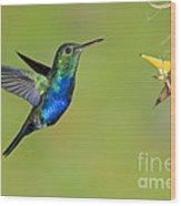 Violet-bellied Hummingbird Wood Print