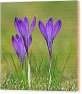 Trio Of Violet Crocuses Wood Print