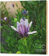 Violet Daisy  Oleo Wood Print by Stefano Piccini