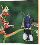 Violet Sabre-wing Hummingbird Wood Print