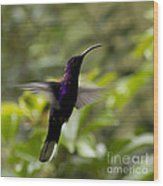 Violet Sabrewing At Cielito Sur Wood Print