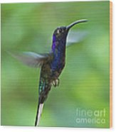 Violet Sabrewing Hummingbird Wood Print