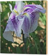 Violet Striped Iris Wood Print