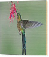Violet-tailed Sylph Hummingbird Feeding Wood Print