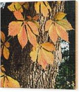 Virginia Creeper Autumn Color Wood Print