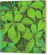 Virginia Creeper Wood Print