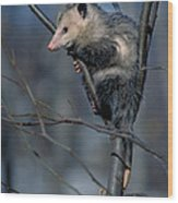 Virginia Opossum Wood Print