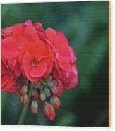 Vividly Red Geranium Wood Print