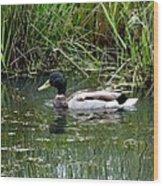 Wading Mallard Duck  Wood Print