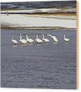 Wading Swans 2 Wood Print