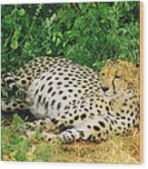 Waiting For Baby Cheetahs Wood Print