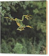 Wallaces Flying Frog Wood Print