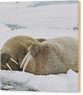 Walrus Male And Female On Ice Floe Wood Print